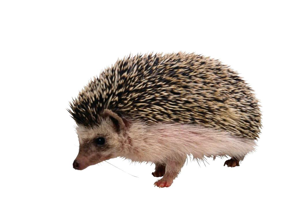 Hedgehog PNG Images HD