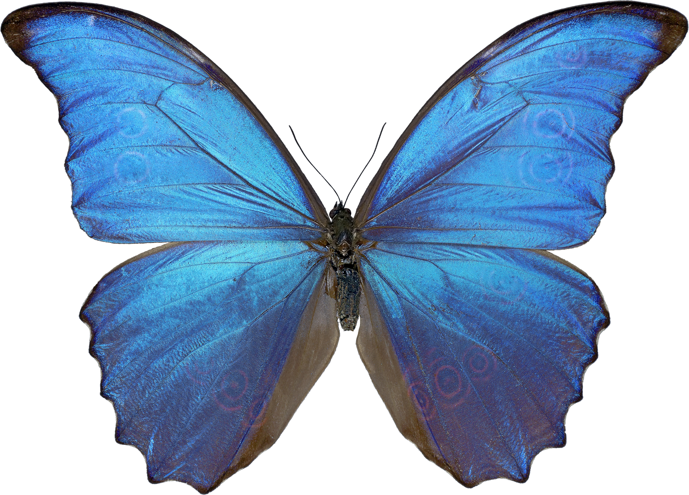Butterfly PNG 4