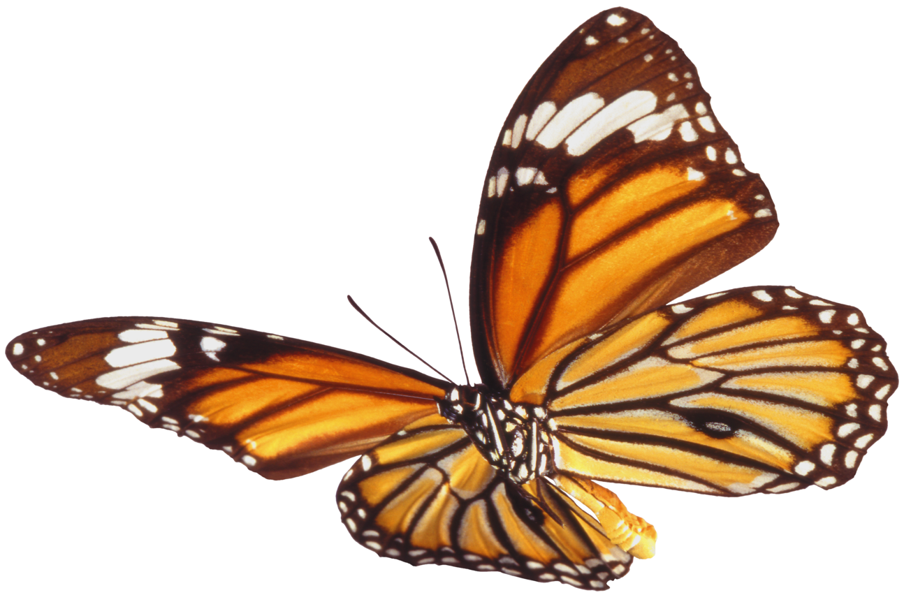 Butterfly PNG 7