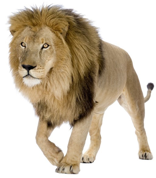 Lion PNG Pic Background