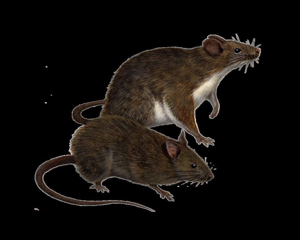 Rat PNG Clipart
