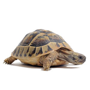 Tortoise PNG Clipart