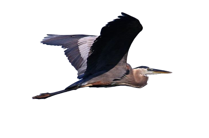 Flying Heron PNG Free Download