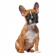 French Bulldog PNG Clipart