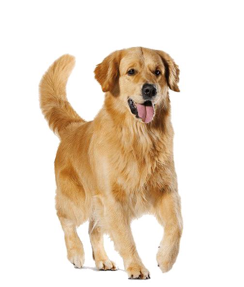 Golden Retriever Dog Transparent