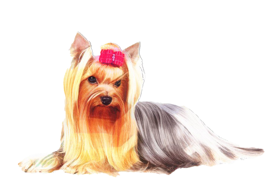 Yorkshire Terrier PNG Free Image