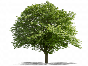 Green Oak Tree PNG Picture