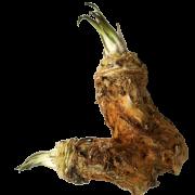 Horseradish PNG Download Image