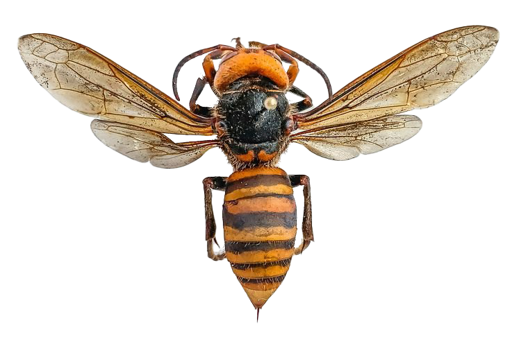 Murder Hornet Bee PNG Clipart