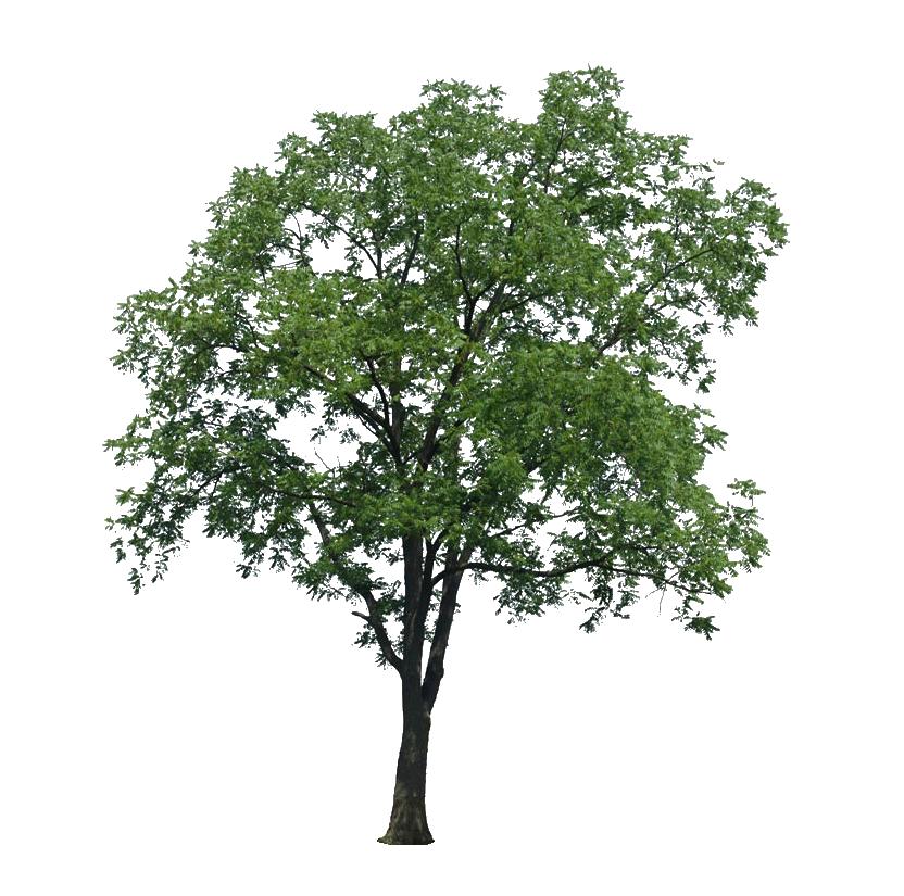Oak PNG HD Image