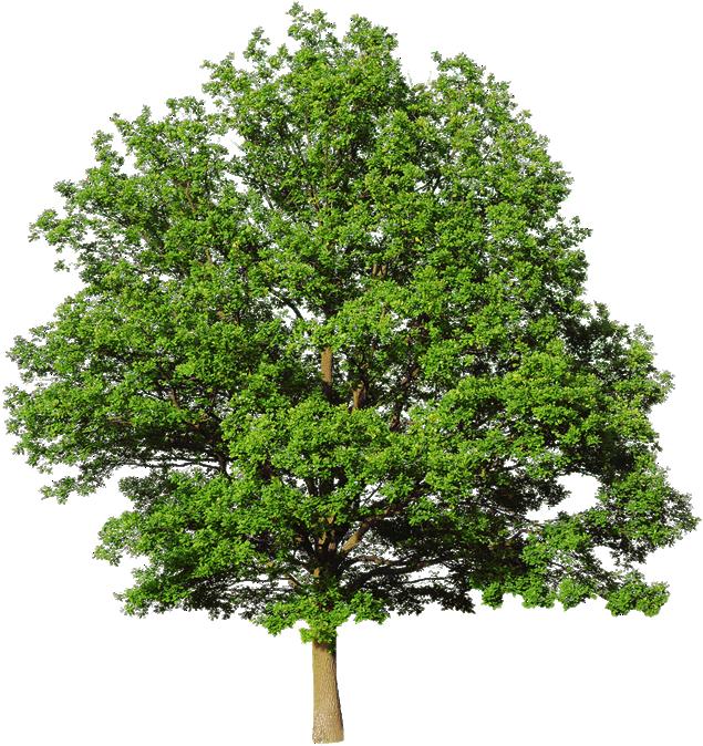 Oak PNG Pic