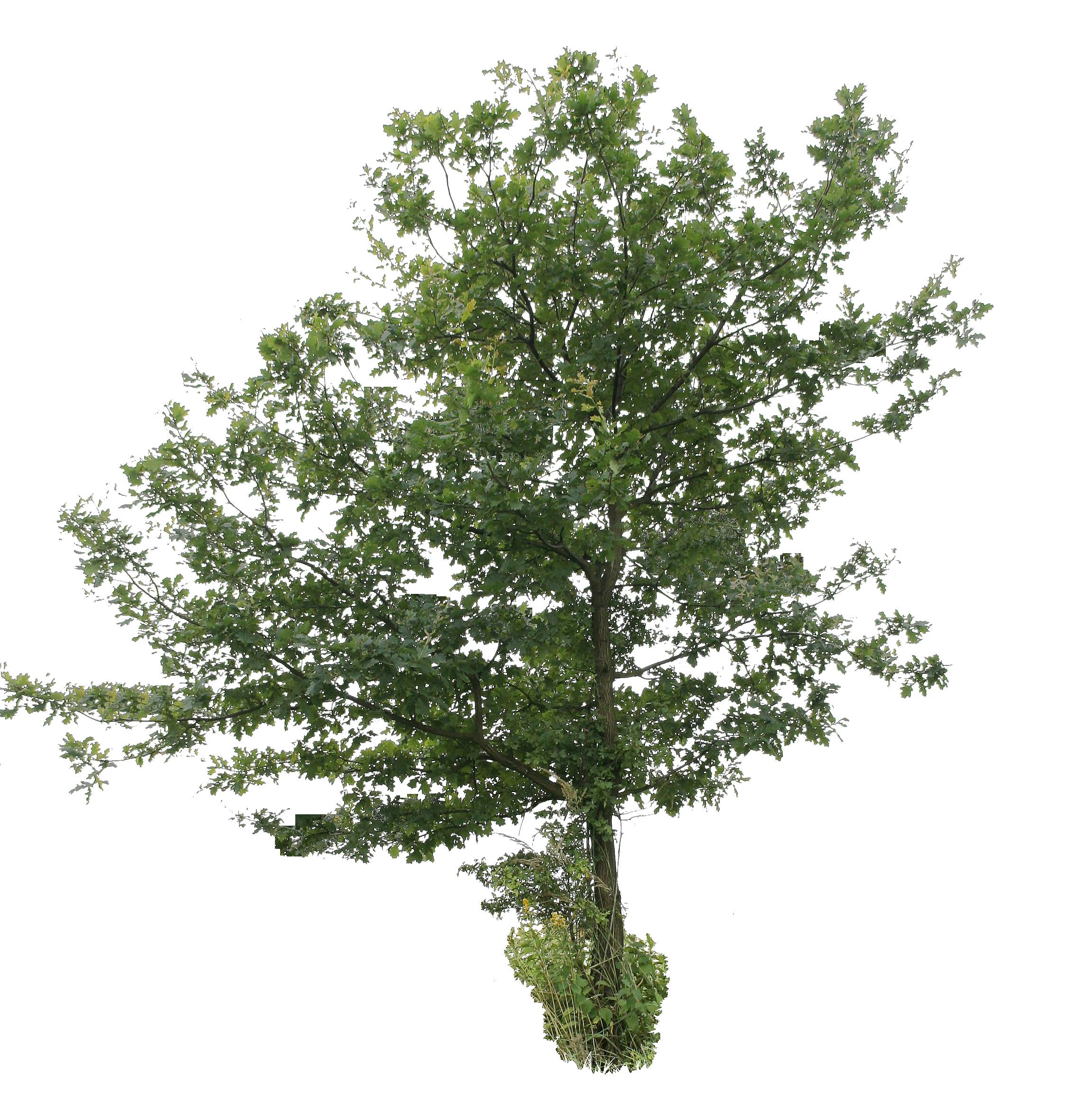 Oak Tree PNG File