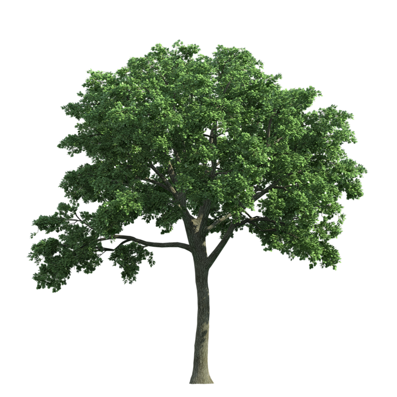 Oak Tree PNG Free Image