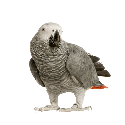 Grey Parrot PNG Photo